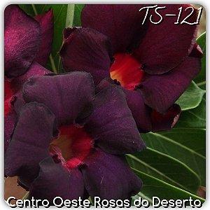 Muda de Enxerto - TS-121 - Flor Dobrada Roxo