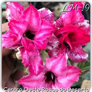 Muda de Enxerto - LM-19 - Dobrada Pink Marizado