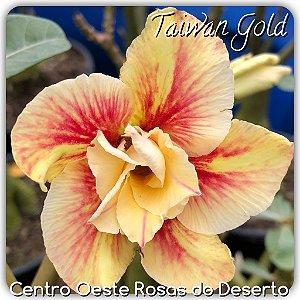 Muda de Enxerto - Taiwan Gold - Flor Dobrada Amarela mesclada - IMPORTADA