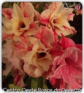 Rosa do Deserto Muda de Enxerto - TS-050 - Flor Dobrada Amarela Matizada
