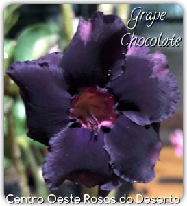 Rosa do Deserto Muda de Enxerto - Grape Chocolate - Flor dobrada - Cuia 21