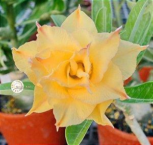 Semente Mr-KO 74 - Kit com 5 sementes Flor Tripla