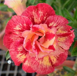 Semente Mr-KO 110 - Kit com 5 sementes Flor Dobrada