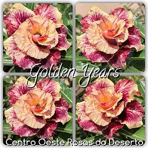 Rosa do Deserto Muda de Enxerto - Golden Years - Flor Tripla Perfumada