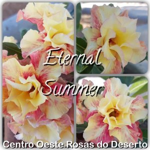 Rosa do Deserto Muda de Enxerto - Eternal Summer - Flor Dobrada