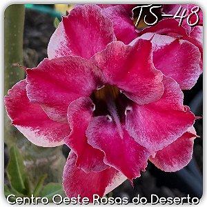 Muda de Enxerto - TS-048 - Flor Dobrada Branca matizada