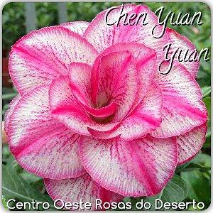 Muda de Enxerto - Chen Yuan Yuan - Flor Tripla Branca Matizada  - Cuia 21 (com 2 a 3 enxertos) IMPORTADA