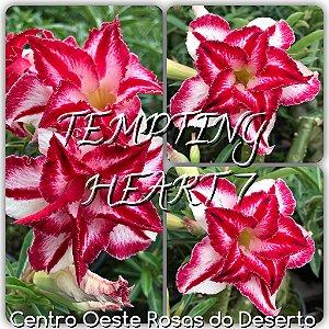 Muda de Enxerto - Tempting Heart VII - Flor Tripla Branca Matizada  - Cuia 21 (com 2 a 3 enxertos) - IMPORTADA