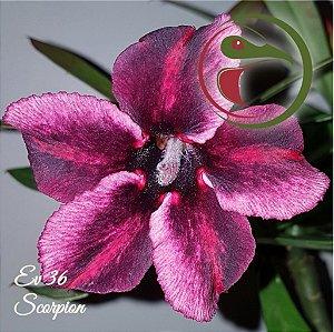 Muda de Enxerto - EV-036 - Scorpion - Flor Simples