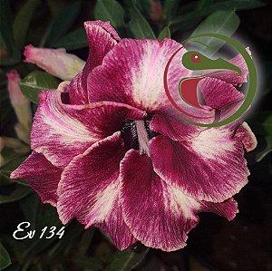 Muda de Enxerto - EV-134 - Chocolate - Flor Dobrada