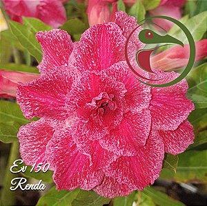 Muda de Enxerto - EV-150 - Renda - Flor Tripla