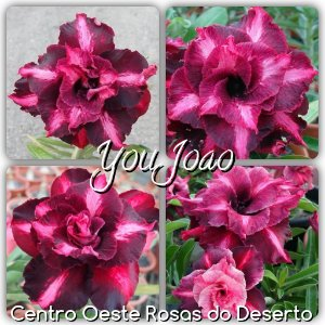 Rosa do Deserto Muda de Enxerto - You Joao - Flor Tripla