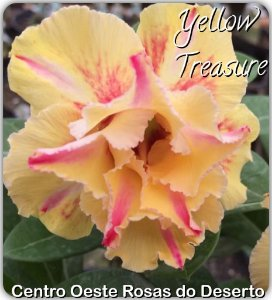 Muda de Enxerto - Yellow Treasure - Flor Dobrada