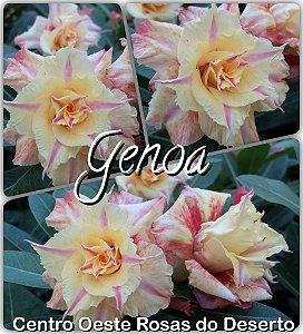 Rosa do Deserto Muda de Enxerto - Genoa - Flor Tripla