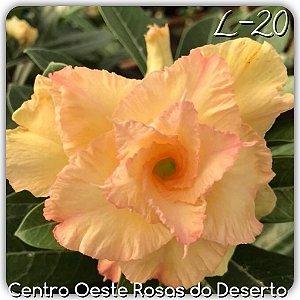 Rosa do Deserto Muda de Enxerto - AURORA (L-20) - Flor Tripla