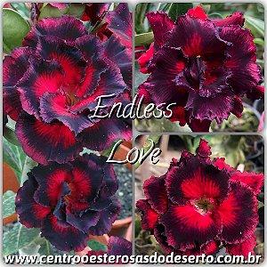 Rosa do Deserto Muda de Enxerto - EndLess Love - Flor Tripla Vermelha com borda escura