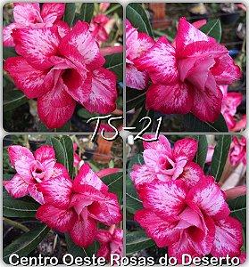 Rosa do Deserto Muda de Enxerto - TS-021 - Flor Dobrada