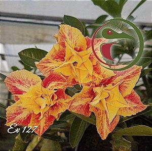 Muda de Enxerto - EV-127 - Flor Dobrada