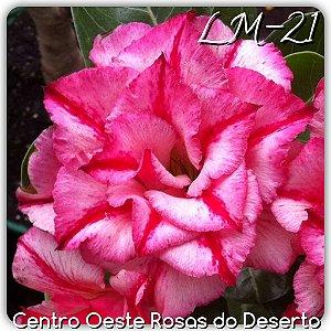 Muda de Enxerto - LM-21 - Flor Tripla matizada com pink