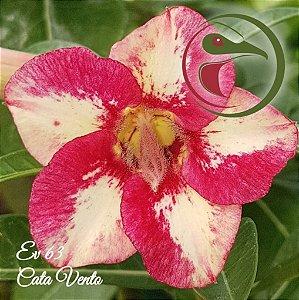 Muda de Enxerto - EV-063 - Cata Vento - Flor Simples