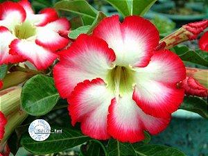 Semente Mr-KO Big Chubbiness - Kit com 5 sementes Flor Simples