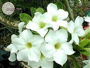 Semente Mr-KO Angel - Kit com 5 sementes Flor Simples