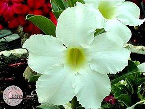 Semente Mr-KO Asian Star - Kit com 5 sementes Flor Simples