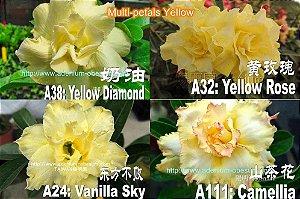Semente Multi-petals AMARELO mixed - Kit com 10 sementes