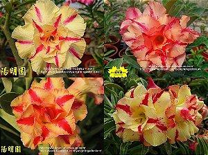Semente Multi-petals ESTRELA AMARELA mixed - Kit com 10 sementes