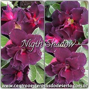 Rosa do Deserto Muda de Enxerto - Nigth Shadow - Flor Dobrada