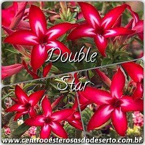Muda de Enxerto - Double Star - Flor Vermelha com Branco - Cuia 21 (com 2 a 3 enxertos) IMPORTADA