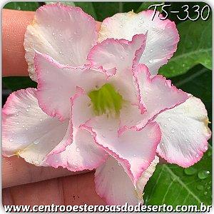 Muda de Enxerto - TS-330 - Flor Dobrada