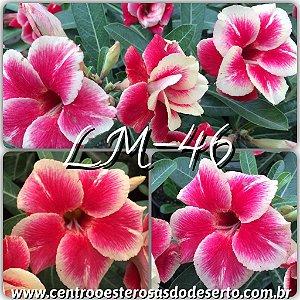 Rosa do Deserto Muda de Enxerto - LM-46 - Flor Dobrada