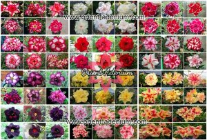 Semente Multi-Petals Mixed Color - Orient Adenium - Kit com 10 sementes