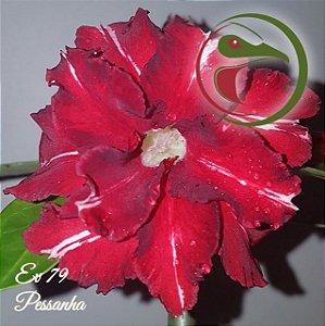 Muda de Enxerto - EV-079 - Pessanha - Flor Dobrada