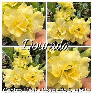 Rosa do Deserto Muda de Enxerto - Dourada - Flor Dobrada