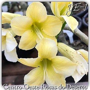Muda de Enxerto - YE-1 - Flor Simples