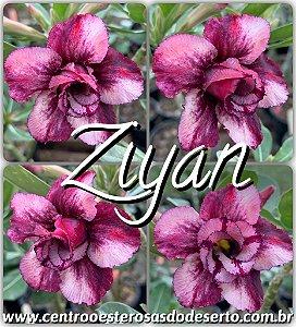 Muda de Enxerto - Ziyan - Flor Dobrada Importada