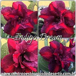 Muda de Enxerto - Indigo Dream - Flor Dobrada IMPORTADA