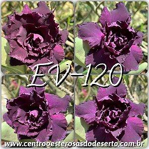 Muda de Enxerto - EV-120 - Flor Tripla
