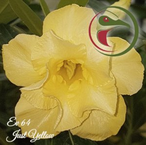 Rosa do Deserto Muda de Enxerto - EV-064 - Just Yelloow - Flor Dobrada