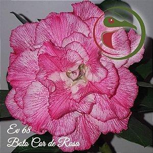 Muda de Enxerto - EV-068 - Boto Cor de Rosa - Flor Tripla