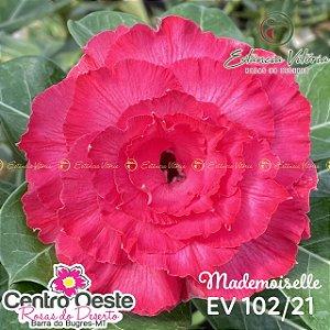 Rosa do Deserto Enxerto - EV-102 - Mademoseille