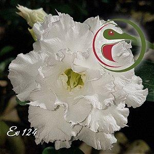 Rosa do Deserto Muda de Enxerto - EV-124 - Flor Tripla