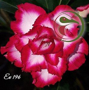 Muda de Enxerto - EV-196 - Flor Tripla
