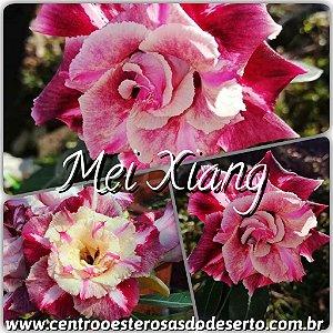 Rosa do Deserto Muda de Enxerto - Mei Xiang - Flor Tripla