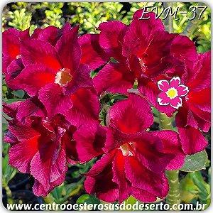 Rosa do Deserto Muda de Enxerto - EVM-037 - Flor Dobrada
