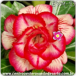 Muda de Enxerto - EVM-053 - Flor Dobrada