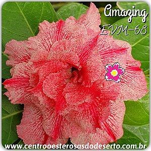 Rosa do Deserto Muda de Enxerto - EVM-068 - AMAZING - Flor Tripla