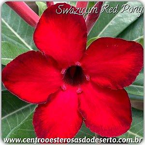 Muda de Enxerto - Red Pony - Flor Simples IMPORTADA